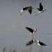 Pied stilt ballet by maureenpp