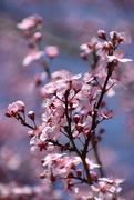 8th Apr 2018 - Pink Petal Pushers