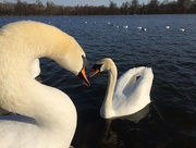 20th Mar 2018 - The Queen's Swans