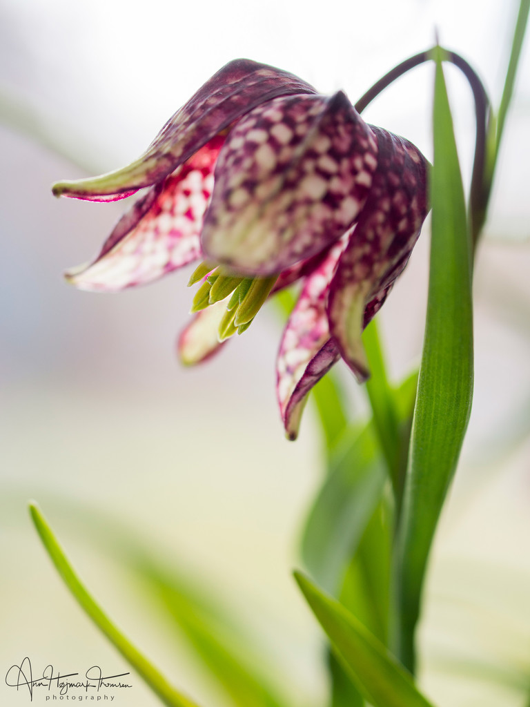 The Fritrillaria is now in bloom by atchoo