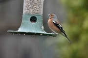 8th Apr 2018 - Male chaffinch