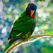 Portrait of a Lorikeet