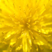 Dandelion detail by ksmale