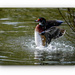 Wood Duck Making A Splash