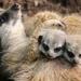 Meerket Mummy Cuddles