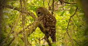 9th Apr 2018 - Barred Owl Trying to Snooze!