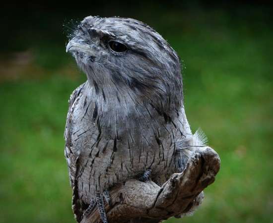 Tawny Frogmouth by judithdeacon