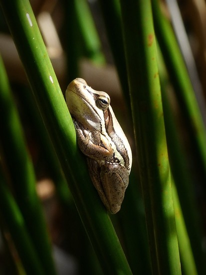 Slender Tree Frog by judithdeacon