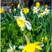 I just love this time of year with the abundance of daffs everywhere