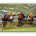 Mandarin Ducks by carolmw