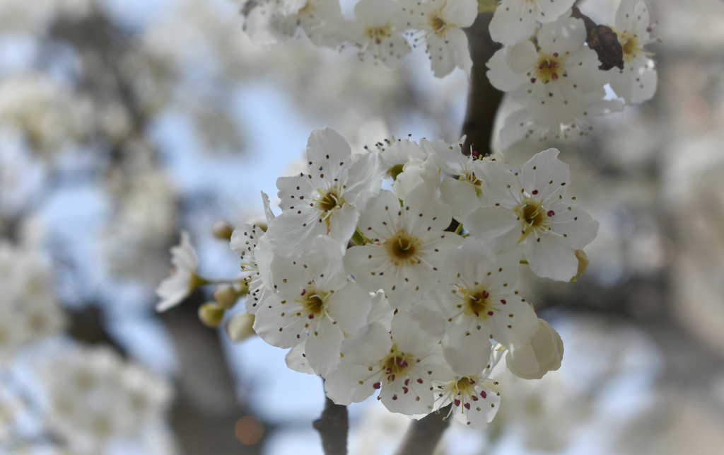 Fresh White Blossoms by alophoto