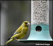 10th Apr 2018 - Greenfinch