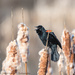 Red-winged Blackbird (male) by dridsdale