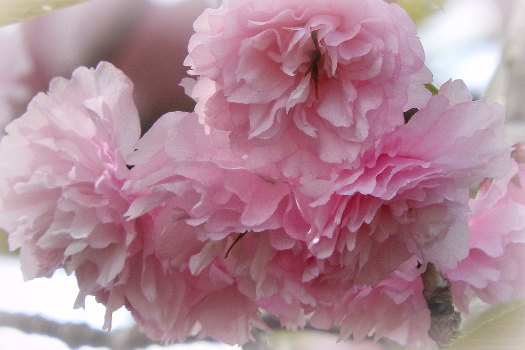 PINK and white by homeschoolmom