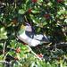 Kereru (Native Wood Pigeon)