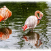 Flamingos And Reflections
