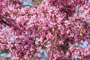 11th Apr 2018 - Spring PINK