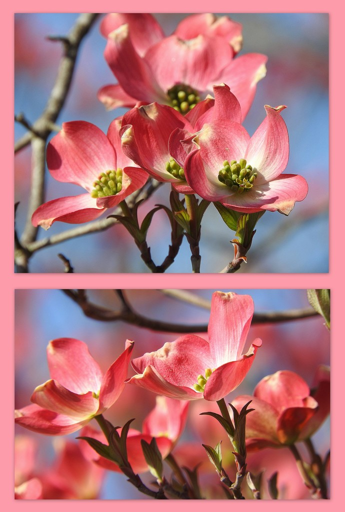 Pink Dogwood Triptych by homeschoolmom