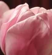 7th Apr 2018 - pinkpetals
