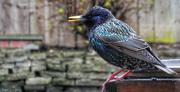 11th Apr 2018 - Starling