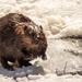 Beaver by radiogirl