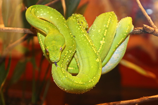 Green Tree Python by terryliv