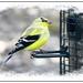 American Goldfinch by olivetreeann