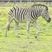 This Zebra...