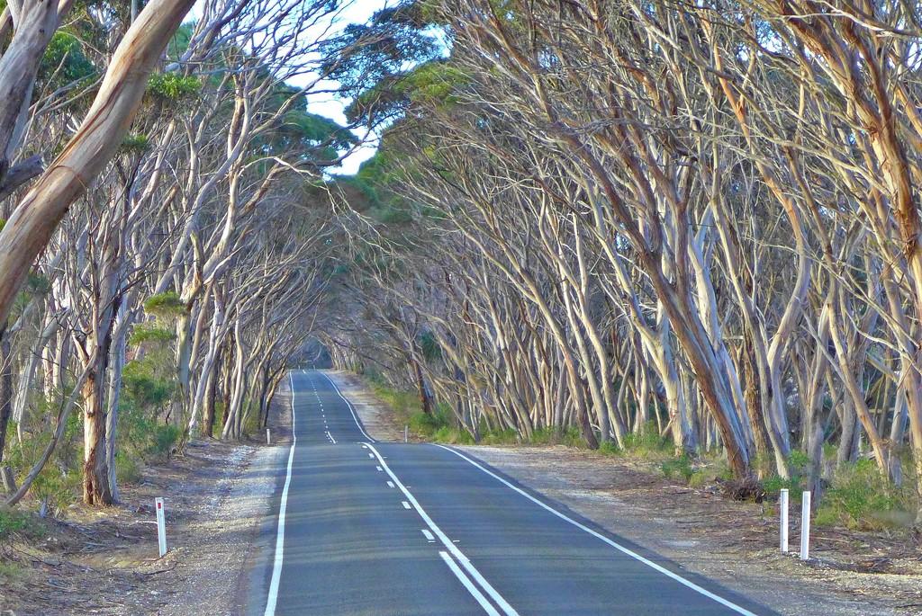Avenue of gum trees by leggzy