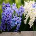 Hyacinth Sweet