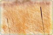 9th Apr 2018 - Grasses in Golden Light