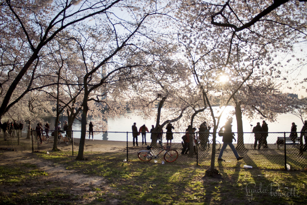 Silhouettes in the Cherry Blossoms by lynbonn
