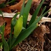 The Daffodils are Up!