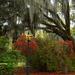 Azaleas and live oaks
