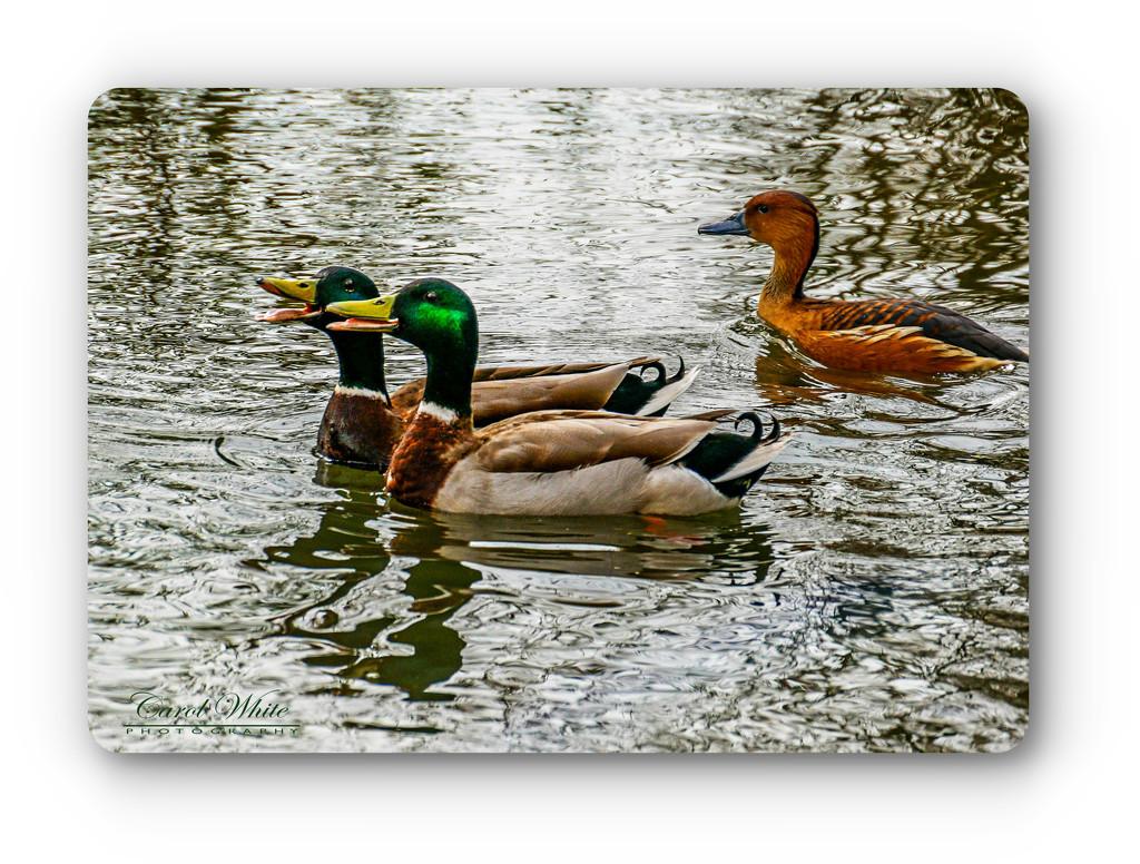 Gossiping Ducks by carolmw