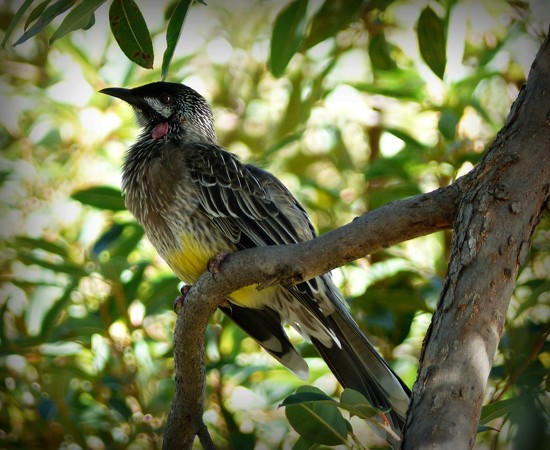 Red Wattle Bird by judithdeacon