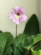13th Apr 2018 - Hannah - Streptocarpus flower