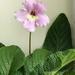 Hannah - Streptocarpus flower
