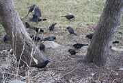 13th Apr 2018 - We have blackbirds instead of green grass or flowers under the tree.....