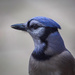 Portrait of a Jay by berelaxed