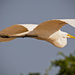 Egret on the Fly By! by rickster549