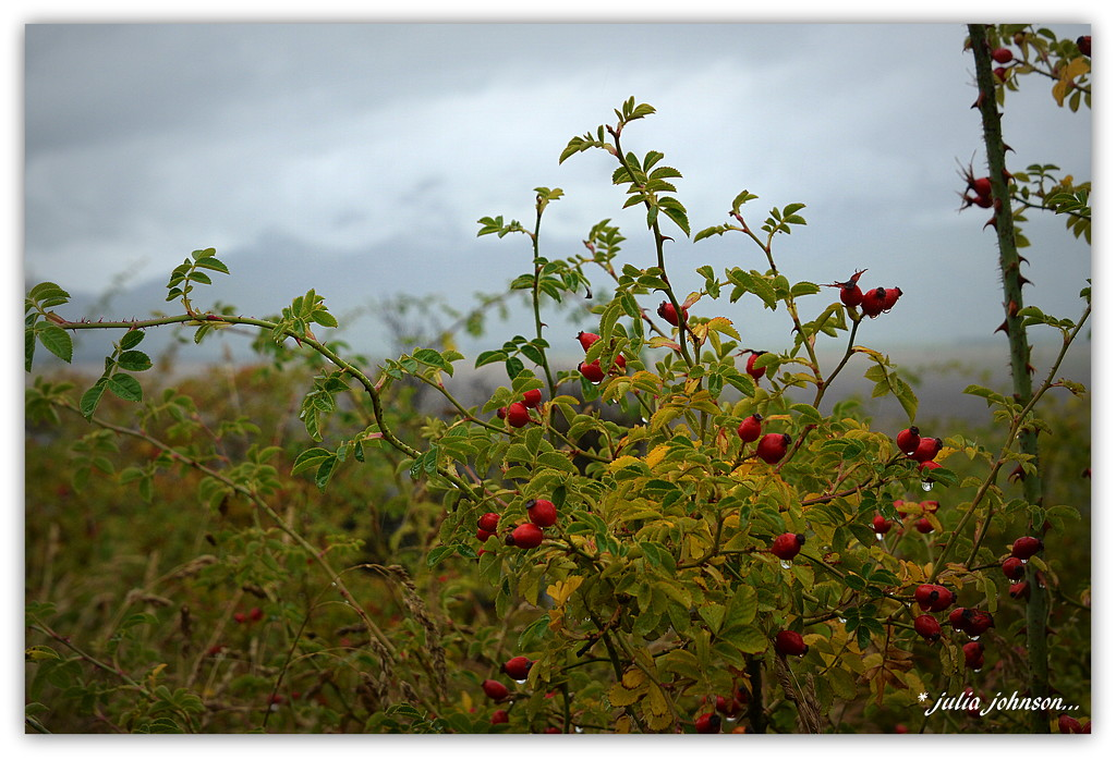 Rosehips in the Rain... by julzmaioro