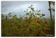 14th Apr 2018 - Rosehips in the Rain...
