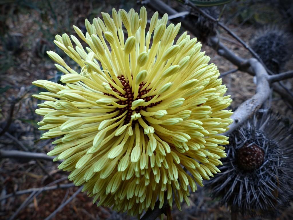 Porcupine Banksia by judithdeacon
