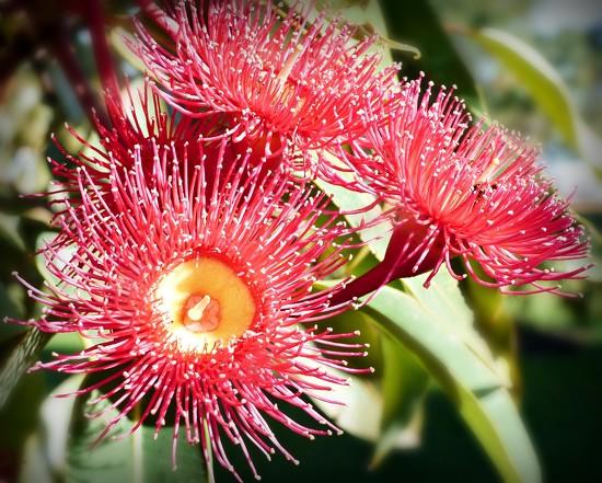 Red Eucalyptus flower by judithdeacon