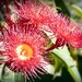 Red Eucalyptus flower