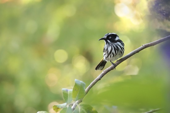 New Holland Honeyeater on one leg by jodies