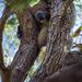 koala's watching