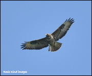 14th Apr 2018 - Buzzard