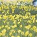 Walking in the daffodils